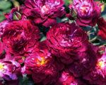 Бордюрные розы Кардинал
