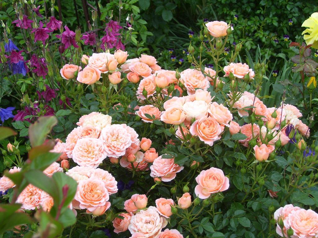 Роза Даниэлла изображение 3