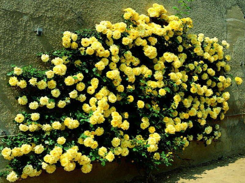 Роза плетистая Голден Ковер 3