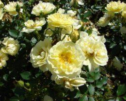 Роза плетистая Голден Ковер