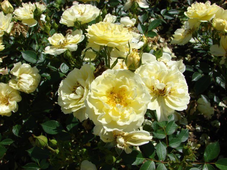 Роза плетистая Голден Ковер 1