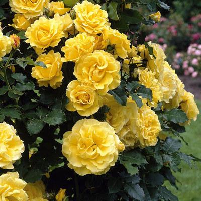 Роза плетистая Голден Ковер 2