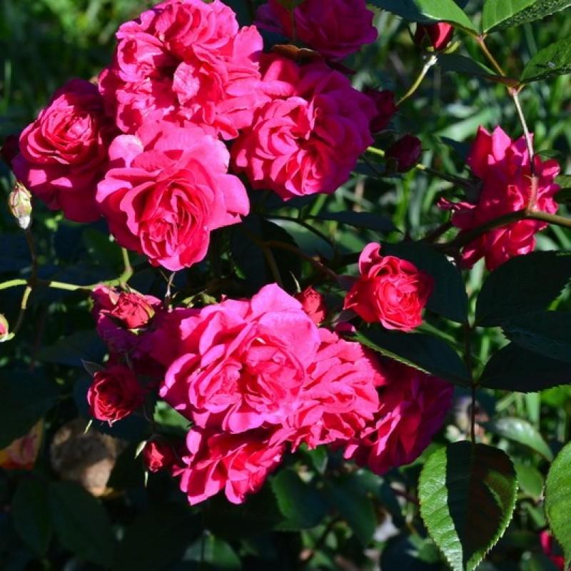 Розы парковые Эльмшорн 3