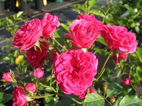 Розы парковые Эльмшорн 2