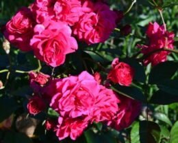 Розы парковые Эльмшорн
