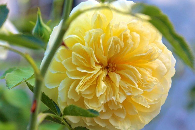 Роза английская Пилигрим 1
