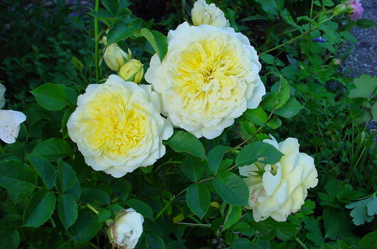 Роза английская Пилигрим 2