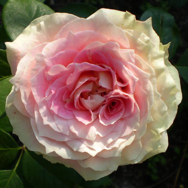 Роза Сезар изображение 1