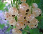 Белая смородина Виноградная