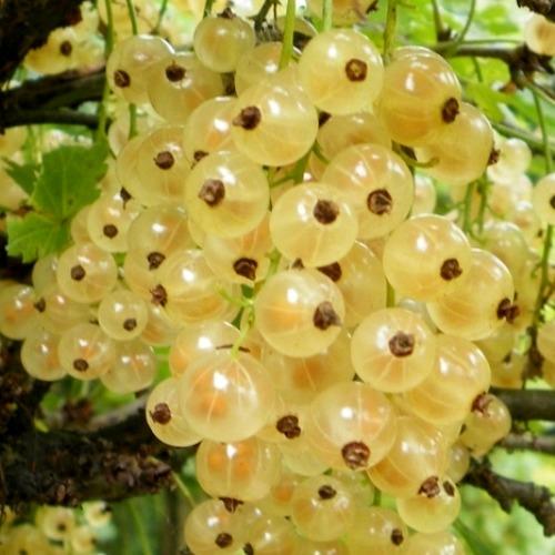 Белая смородина Виноградная изображение 2