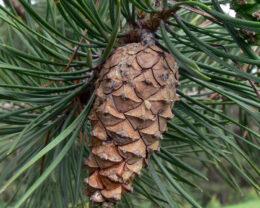 Сосна обыкновенная – Pinus sylvestris.