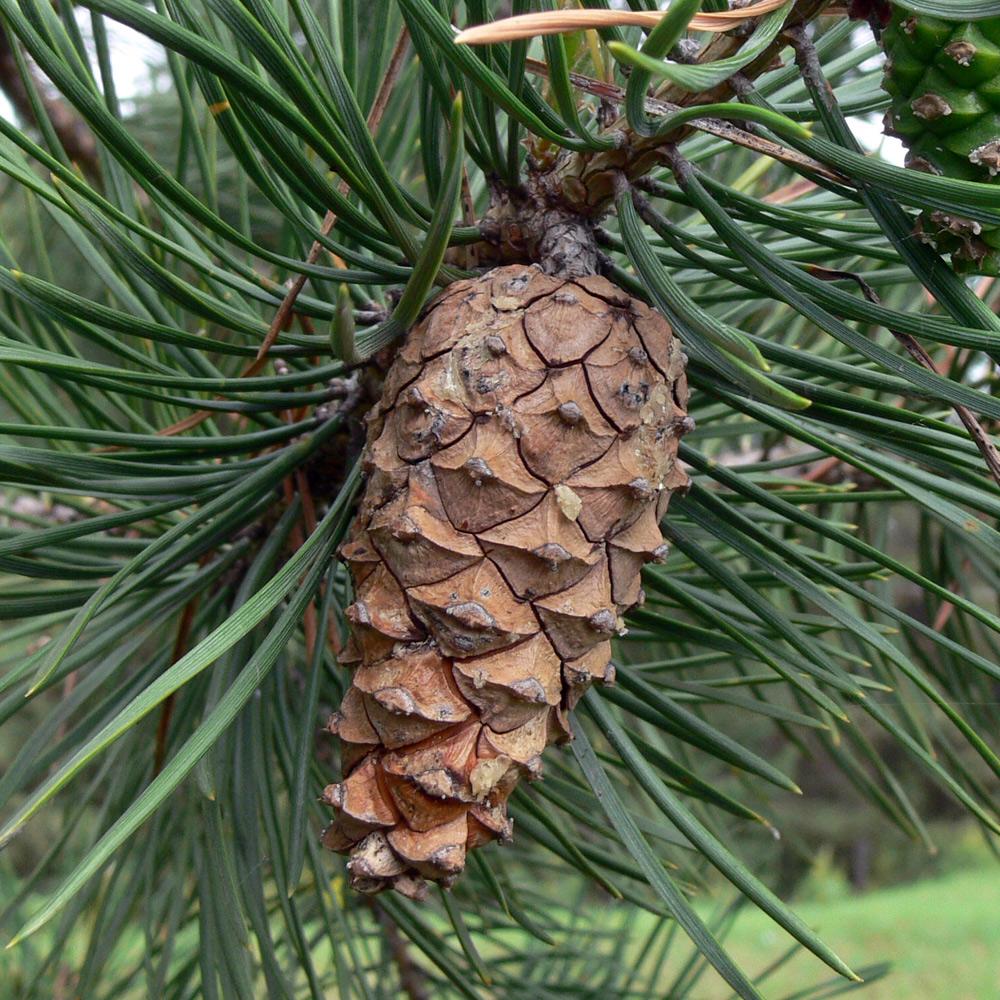 Сосна обыкновенная – Pinus sylvestris. изображение 1