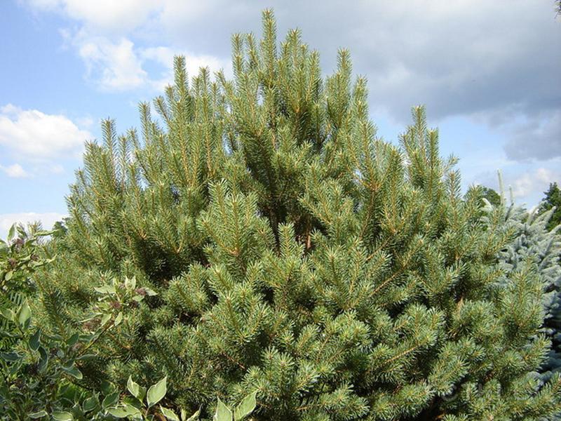Сосна обыкновенная – Pinus sylvestris. изображение 3