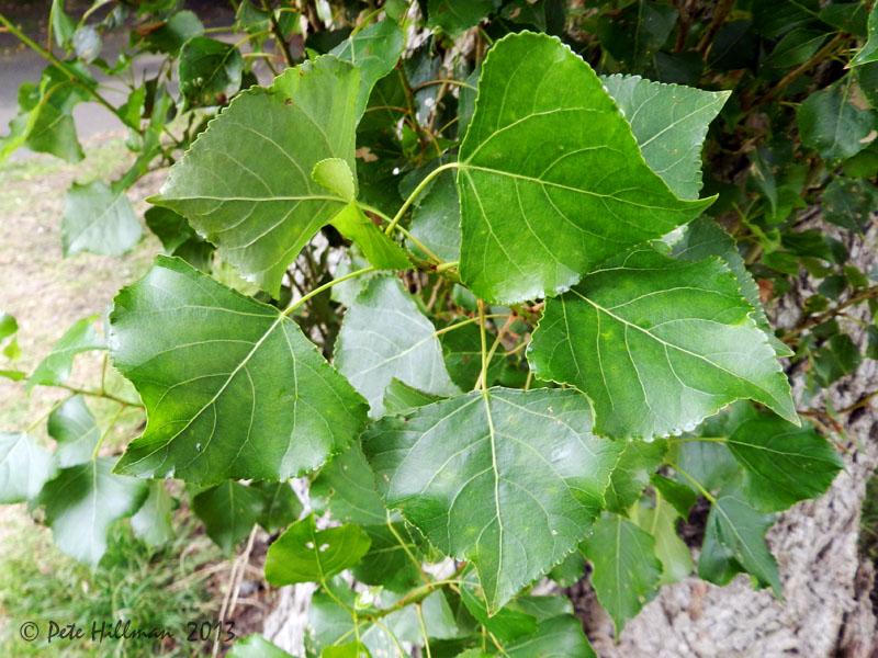 Тополь Populus изображение 2