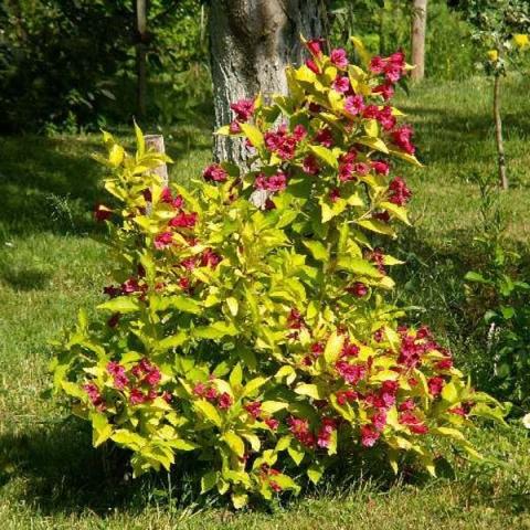 Вейгела цветущая Ауреа изображение 2