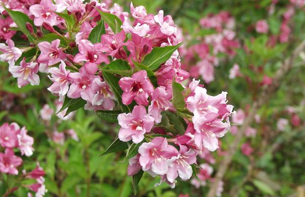 Вейгела цветущая Пинк Принцесс 3
