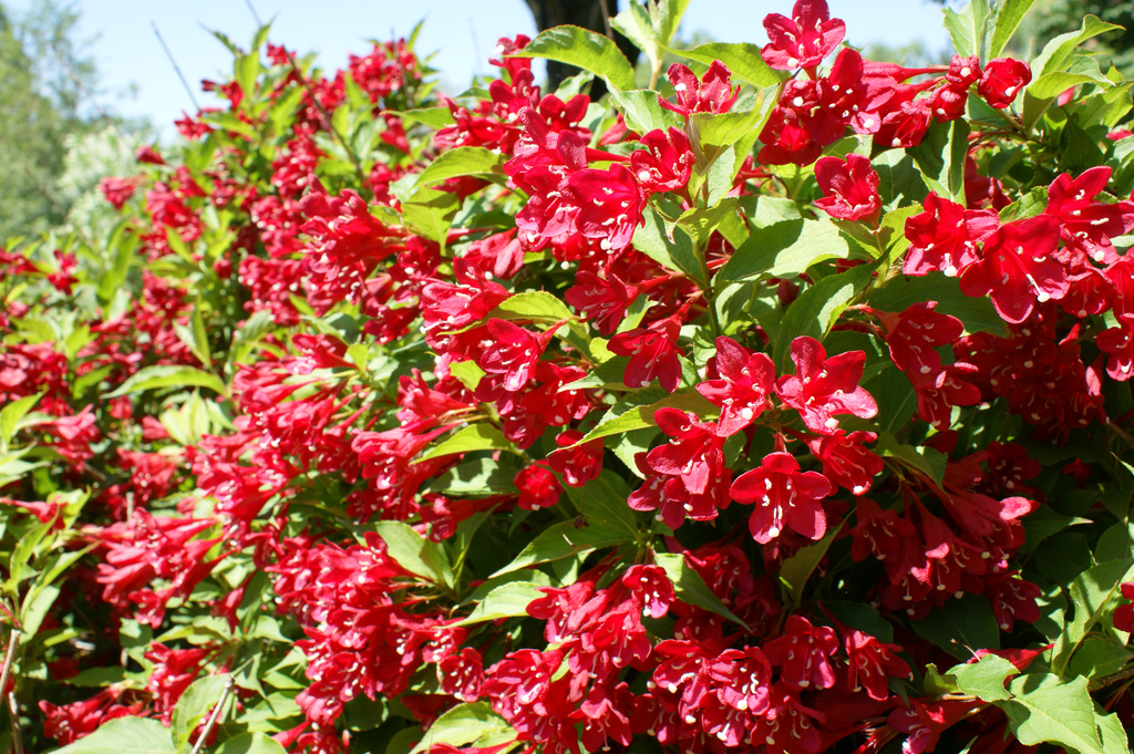 Вейгела цветущая Ред Принц 2