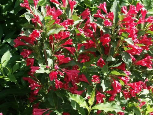 Вейгела цветущая Ред Принц 3