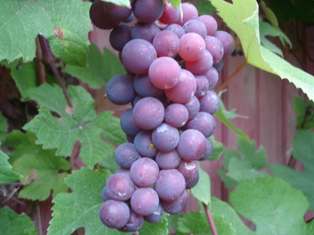 Виноград Изабелла 3