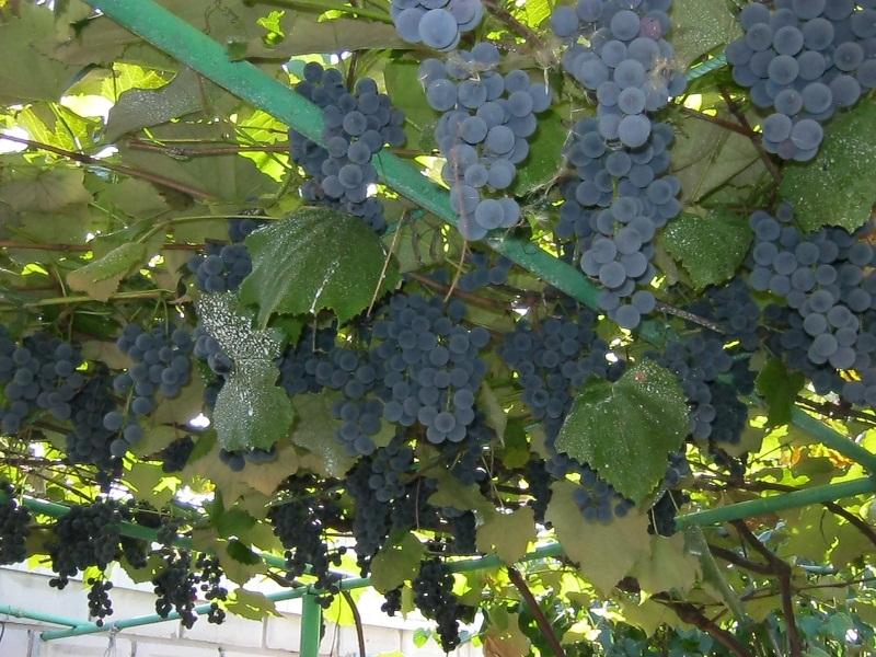 Виноград Изабелла 2