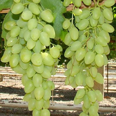 Виноград Кишмиш изображение 3