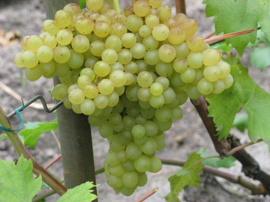 Виноград Кишмиш изображение 2