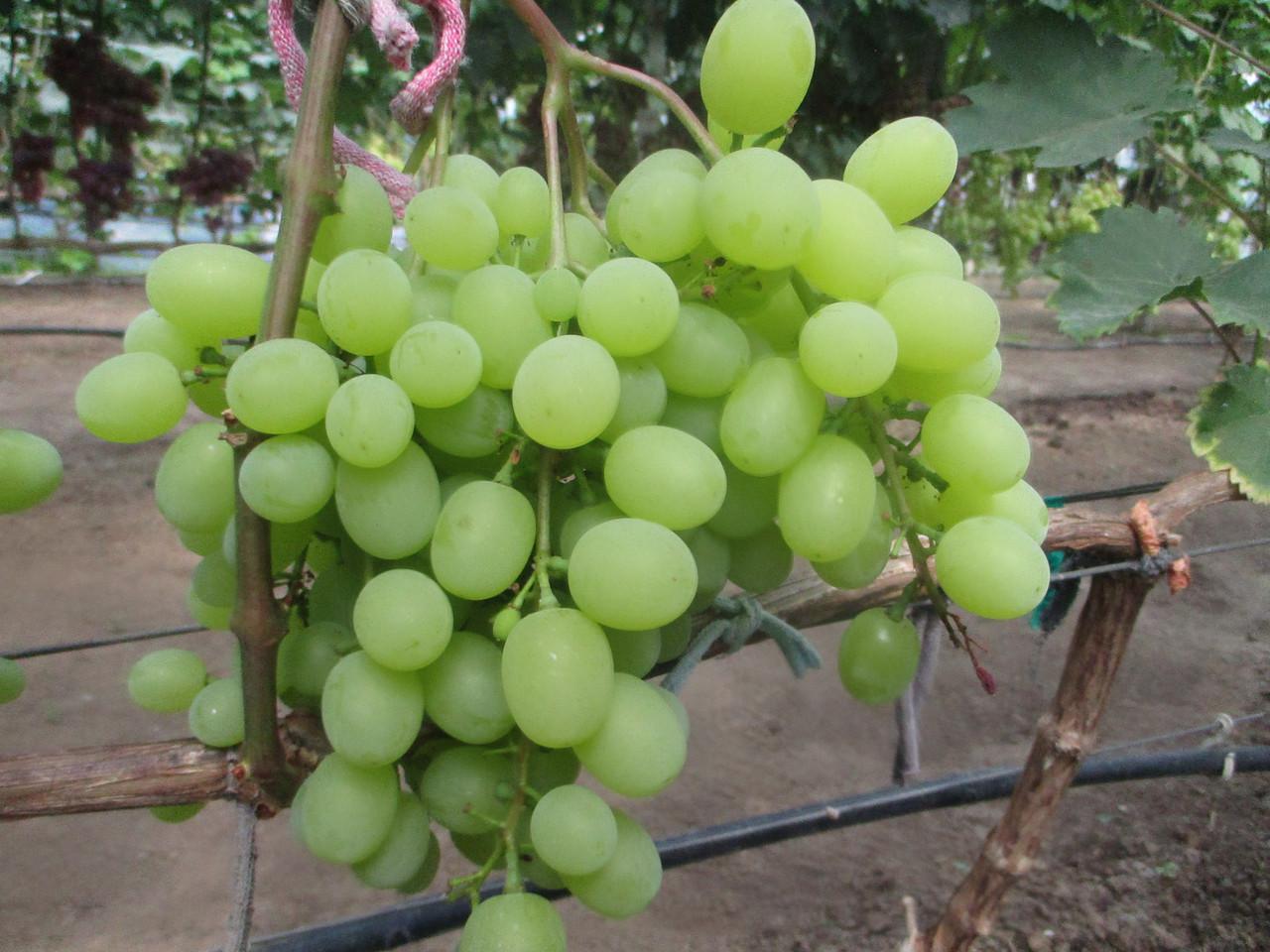 Виноград Кишмиш изображение 1