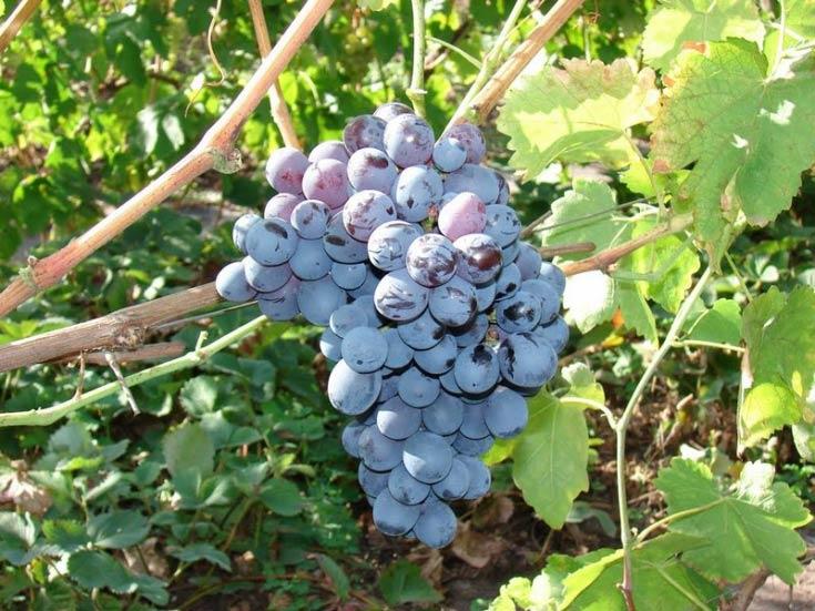 Виноград Северный изображение 3