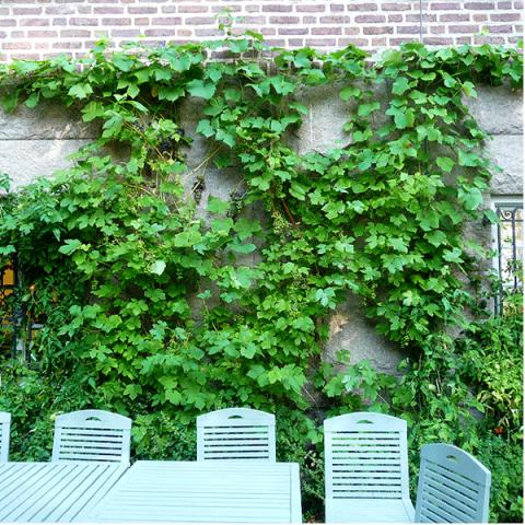 Виноград Зильга изображение 2