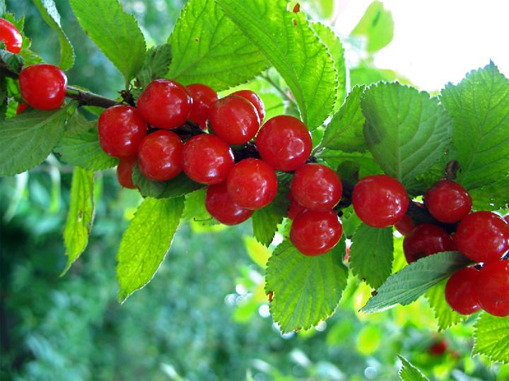 Войлочная вишня Сказка изображение 2