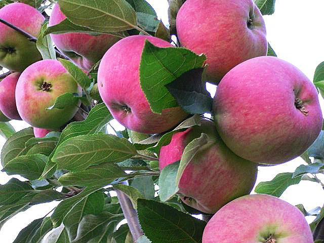 Яблоня Мантет изображение 3