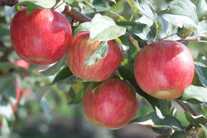 Яблоня Пепин Шафранный изображение 3