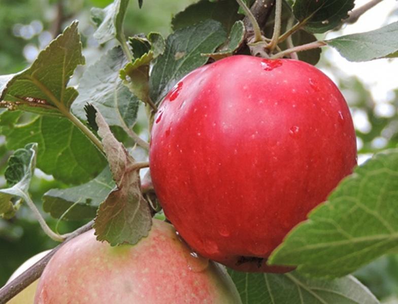 Яблоня Пепин Шафранный изображение 1
