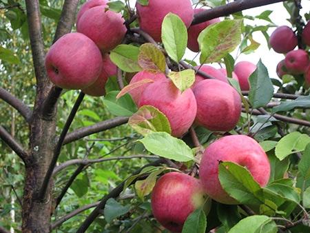 Яблоня Пепин Шафранный изображение 2
