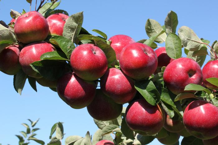 Яблоня Анис полосатый 3