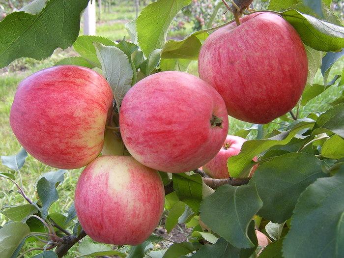 Яблоня Анис полосатый 2