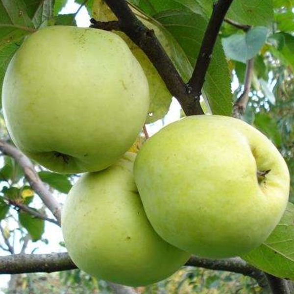 Яблоня Антоновка золотая изображение 1