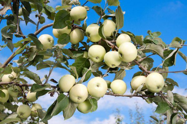 Яблоня Белый Налив 3