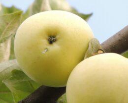Яблоня Белый Налив