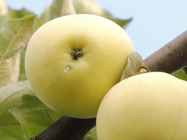 Яблоня Белый Налив 1