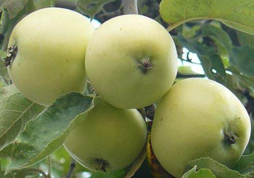 Яблоня Белый Налив 2