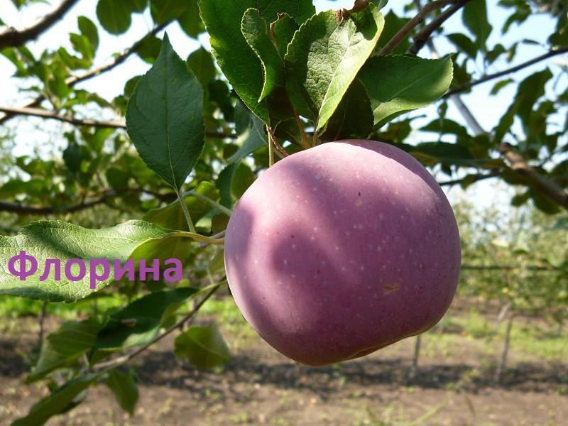 Яблоня Флорина 3