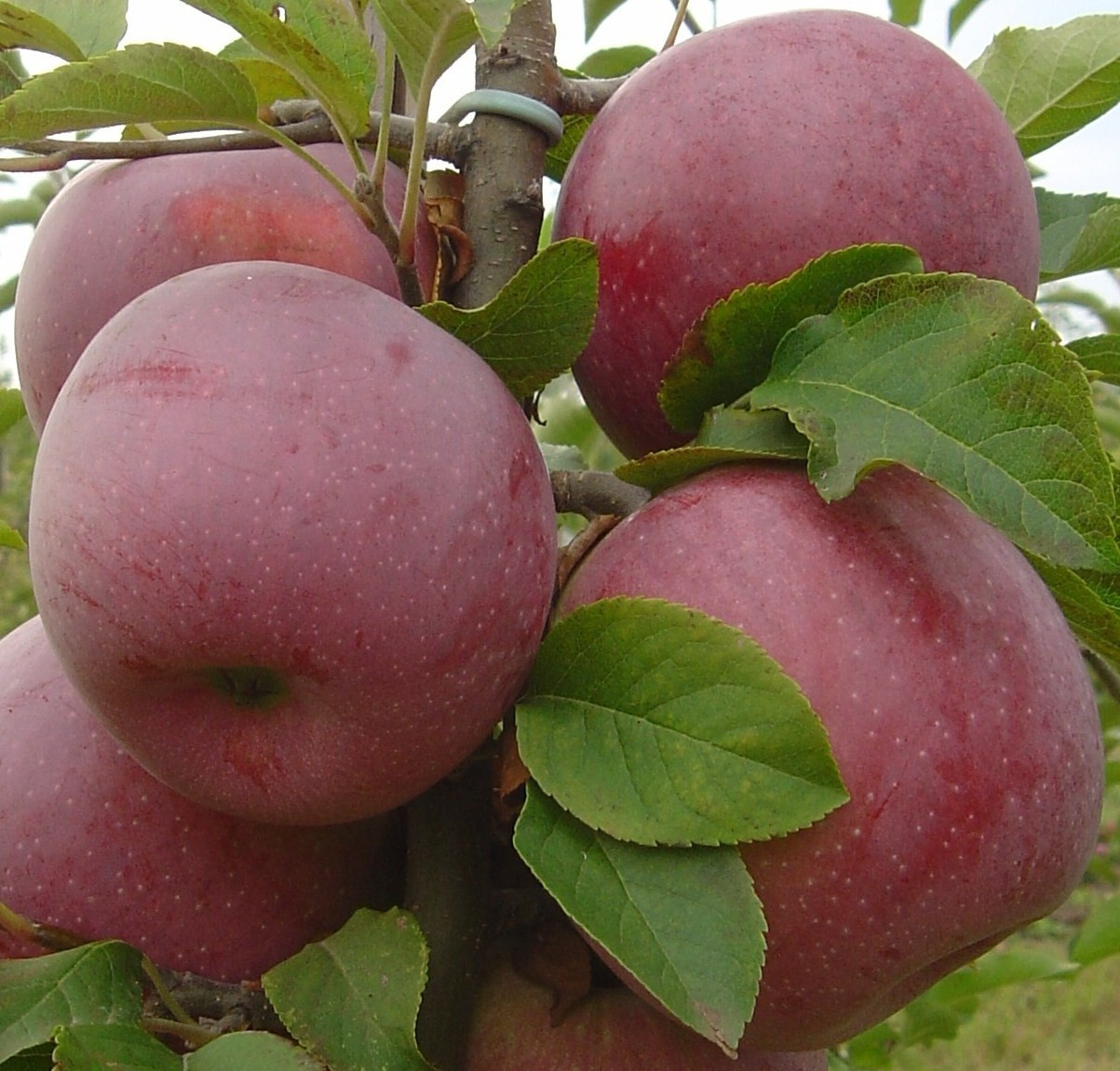 Яблоня Флорина 1