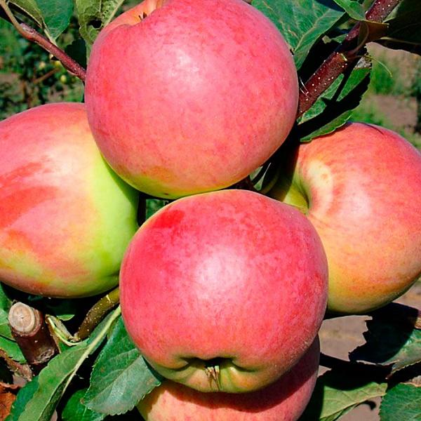 Яблоня Китайка Красная изображение 3