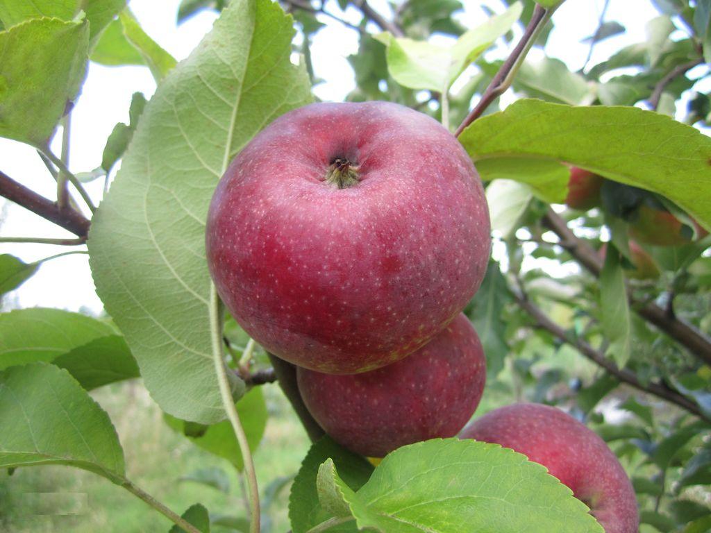 Яблоня Лобо 1