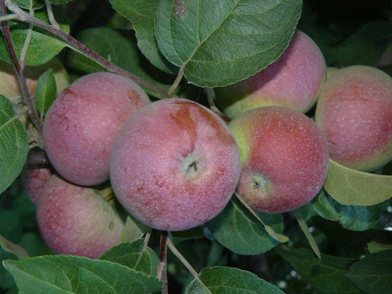 Яблоня Лобо 2