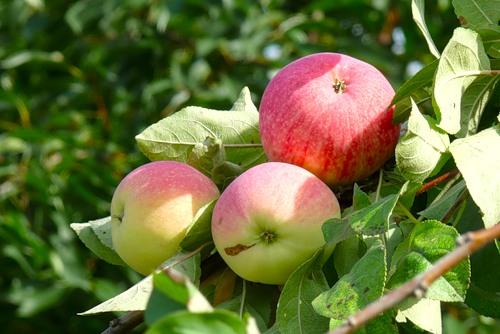 Саженцы яблони Мельба 3