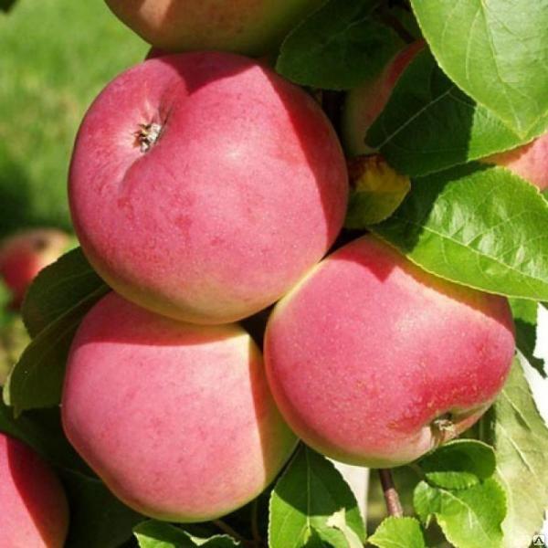 Саженцы яблони Мельба 2