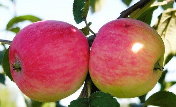 Саженцы яблони Мельба 1