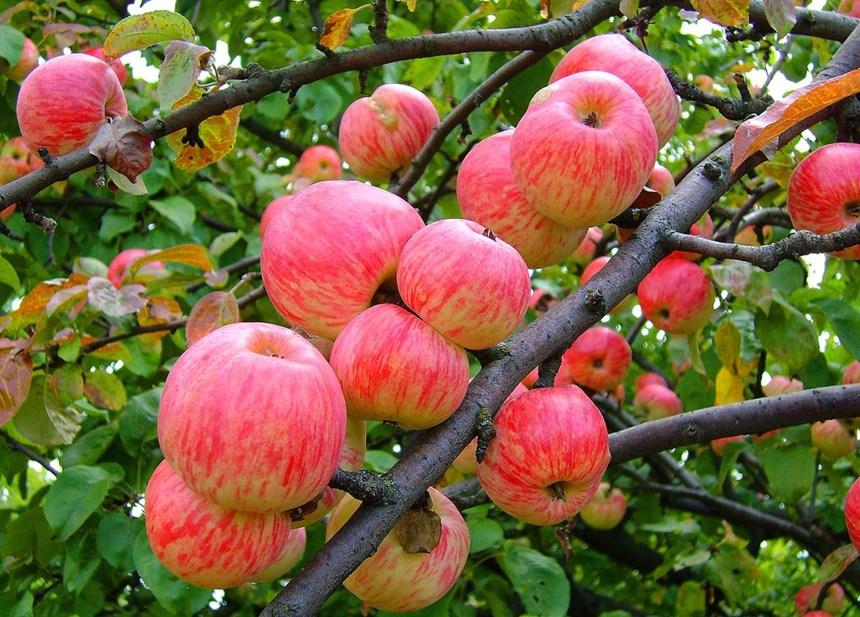 Яблоня Коричное полосатое 3